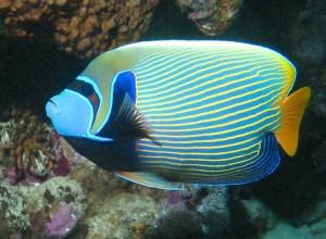 Emperor Anglefish