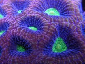 Donut Coral Multicolor