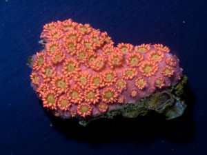 Red Floweer Pot Coral