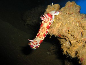 Red Turtle Nudi Branch