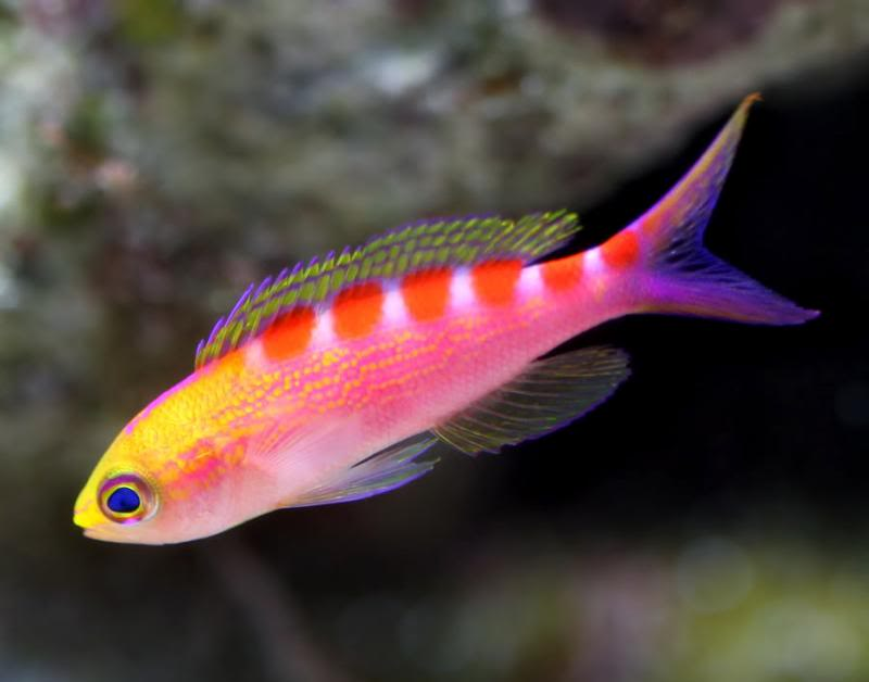 Japanese Anthias